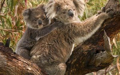 Koalas at Cape Otway